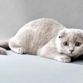 Чим відрізняються шотландські та британські коти