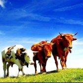Де можна купити корову