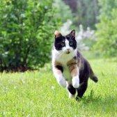 Як ходить кішка