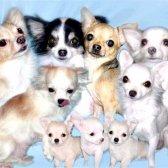 Як годувати і доглядати за вагітними собачками