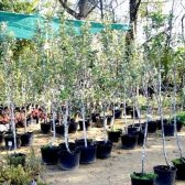 Як купити саджанці плодових дерев