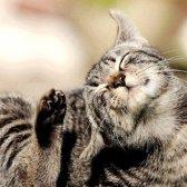 Як виглядають блохи на кішках