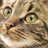 Чим лікувати стригучий лишай у кішки