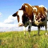 Які корови дають більше всього молока