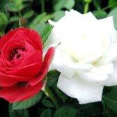 Який квітка є символом англии