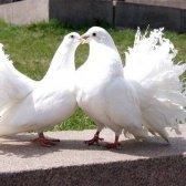 Легенди і міфи про голубів