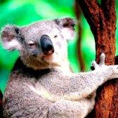 Усе про коал