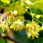 Рецепти лікувальних засобів з липового цвіту