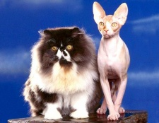 Чи бувають гіпоалергенні кішки