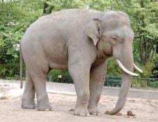 Чим відрізняється індійський слон від африканського