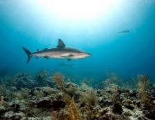 Чим корисна печінка акули