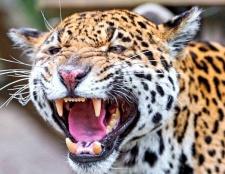 Чим зуби хижака відрізняються від зубів травоїдного?