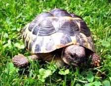 Що їдять черепахи