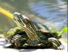 Що їсть червоновуха черепаха