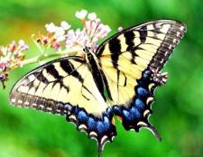 Що символізує метелик