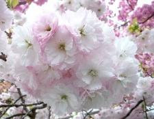 Що значить для японців сакура