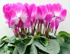 Цикламен: секрети вирощування