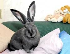 Фландр - гігантський домашній кролик
