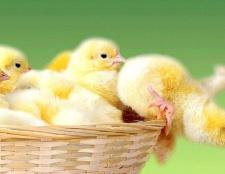 Де купити курчат