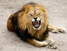 Як живуть леви
