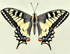 Де зимують метелики