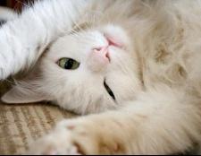 Чи хочуть стерилізовані кішки кота