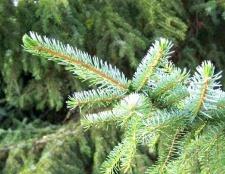 До яких деревам відноситься ялина