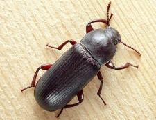 Як винищити чорних жуків в будинку