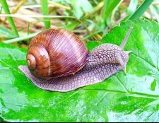 Як позбутися від равликів і слимаків: найпростіший і гуманний спосіб