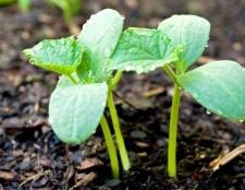 Як посадити насіння огірків на розсаду