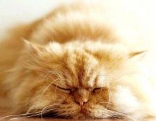 Як придумати ім'я перської кішці