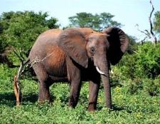 Скільки важить слон