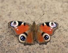 Як дізнатися стать метелики