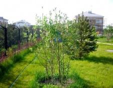 Як садити дерева на ділянці