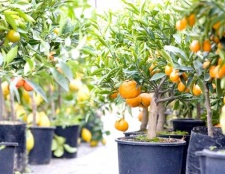 Як доглядати за апельсином