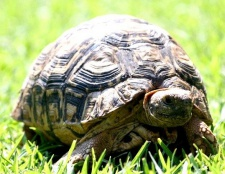 Як доглядати за сухопутної черепахою