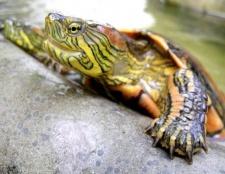 Як доглядати за водяний черепахою