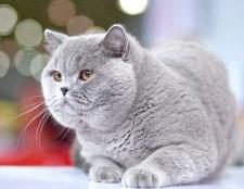 Як вибрати кличку для британської кішки