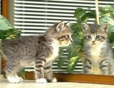 Як вилікувати кота від вушного кліща