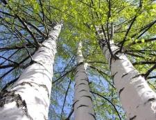 Які дерева ростуть в росії