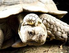Які є сухопутні черепахи