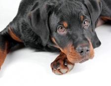 Які можуть бути наслідки у собаки від укусу кліща