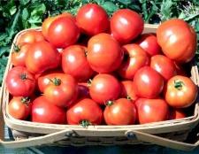 Які садити помідори в середній смузі