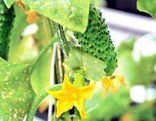 Які насіння огірків краще саджати в середній смузі
