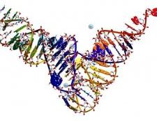 Які види РНК існують в клітці, де вони синтезуються