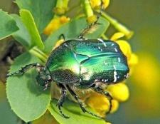 Які жуки зустрічаються в середній смузі росії