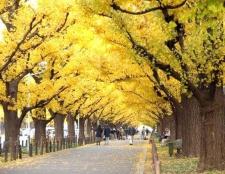 Яке дерево можна назвати живим викопним