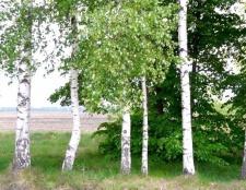 Яке дерево в россии найпоширеніше