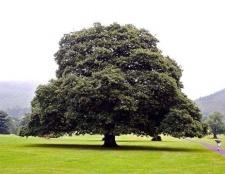 Яке рослина найвище в світі