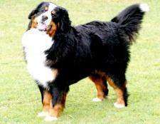 Як дізнатися породу собаки